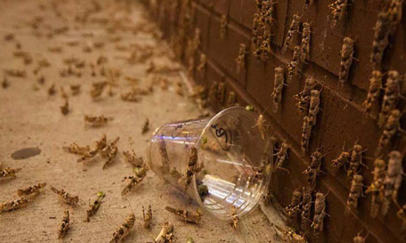 Millones de saltamontes han invadido la ciudad de Las Vegas